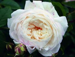 Englische Rosen von David Austin