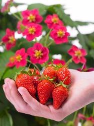 Erdbeerpflanzen kaufen