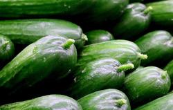 Freilandgurken Pflanzen von Lubera kaufen
