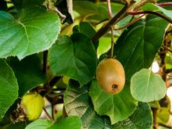 Kiwi Pflanzen