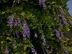 Rankpflanzen für Kletterhilfen