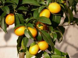 Kumquat pflanzen