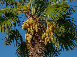 Mediterrane Gehölze Trachycarpus fortunei