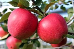 Apfelbaum kaufen
