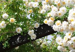 Öfterblühende Ramblerrosen bei Lubera kaufen