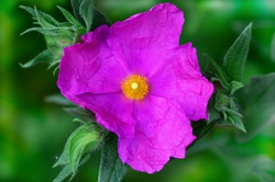 Rock rose Lubera