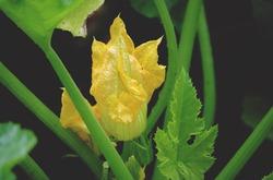Zucchini-Pflanze Zucchetti-Pflanze bei Lubera kaufen