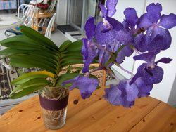 ist das eine vanda orchidee oder eine andere gattung frage 10959. Black Bedroom Furniture Sets. Home Design Ideas