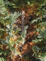lebensbaum orientalischer lebensbaum 39 smaragd 39. Black Bedroom Furniture Sets. Home Design Ideas