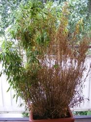 mein bambus bekommt braune bl tter was kann ich tun. Black Bedroom Furniture Sets. Home Design Ideas
