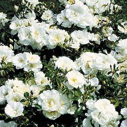 eignet sich die rose 39 schneeflocke 39 zur anpflanzung ber. Black Bedroom Furniture Sets. Home Design Ideas