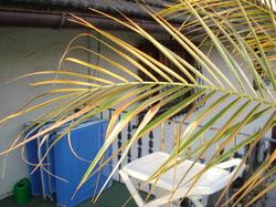 woher kommen die braunen palmenbl tter frage 30256. Black Bedroom Furniture Sets. Home Design Ideas