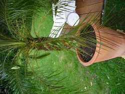 palme bekommt braune bl tter frage 3519. Black Bedroom Furniture Sets. Home Design Ideas
