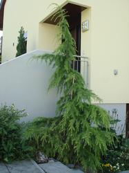 cedrus deodara aurea frage 38604. Black Bedroom Furniture Sets. Home Design Ideas