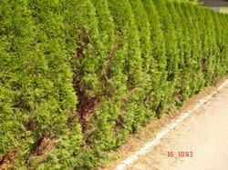 lebensbaum orientalischer lebensbaum 39 smaragd 39 5 stk h. Black Bedroom Furniture Sets. Home Design Ideas