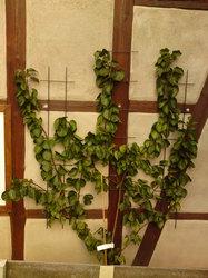 aprikose bergeron prunus armeniaca frisch aus der baumschule kaufen. Black Bedroom Furniture Sets. Home Design Ideas