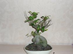 meinem bonsai ficus ginseng fallen s mtliche bl tter ab. Black Bedroom Furniture Sets. Home Design Ideas