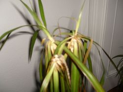 meine zimmerpflanze verliert alle bl tter was kann ich tun frage 9102. Black Bedroom Furniture Sets. Home Design Ideas