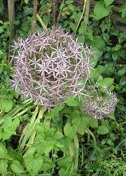 Allium christophii kategorie sommerblüher sonniger standort