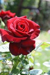bilder zum thema englische rosen von david austin. Black Bedroom Furniture Sets. Home Design Ideas