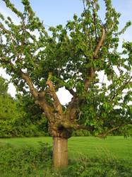 kirschbaum pflanzen kirschbaum pflanzen tipps garten tipps garten kirschbaum im garten. Black Bedroom Furniture Sets. Home Design Ideas