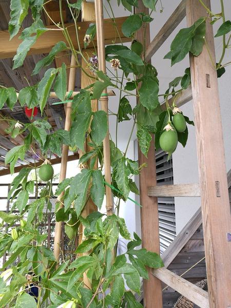 passiflora incarnata passionsfrucht eia popeia online kaufen. Black Bedroom Furniture Sets. Home Design Ideas