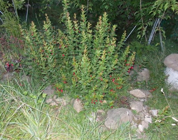 Prächtig Fuchsie, Gartenfuchsie 'Gracilis': Lubera.ch &WW_95