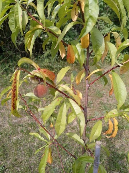 starke Pflanze am Bambusstab im 10lt-Topf Pfirsich Harrow Beauty Niederstamm
