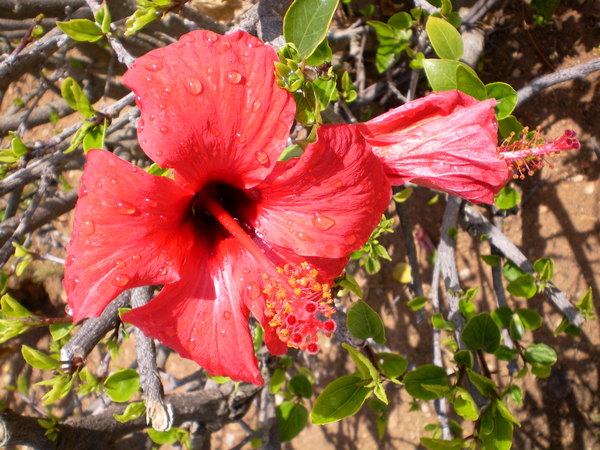 hibiscus syriacus 39 hamabo 39 bl tenpflanzen ihr lubera online pflanzenversand. Black Bedroom Furniture Sets. Home Design Ideas