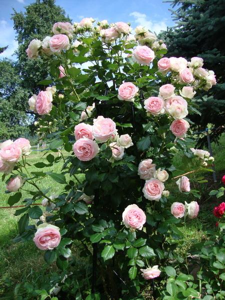 rose eden rose 85 im grossen container meilland rosen. Black Bedroom Furniture Sets. Home Design Ideas