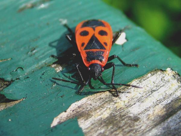 insekten in garten rayli vom. Black Bedroom Furniture Sets. Home Design Ideas