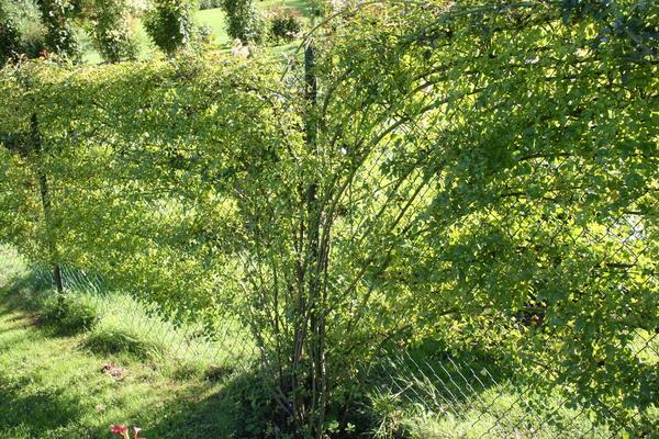 kletterrosen am zaun (markus kobelt vom 11.08.2007), Garten seite