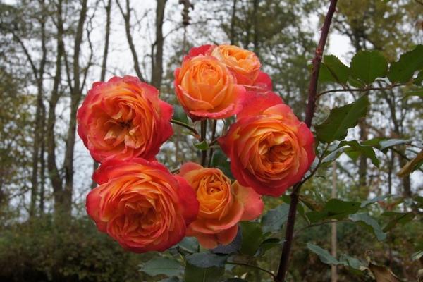 Rose Midsummer (flowerromantic vom 26.10.2010)