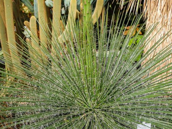 Agave pflanzen