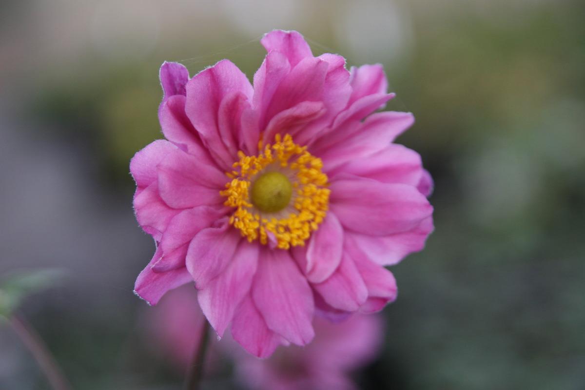 Anemone X Japonica Pamina Lubera De