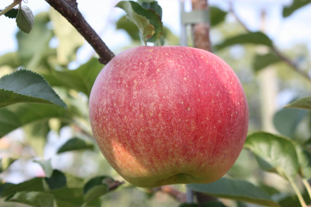 Apfel Apfel