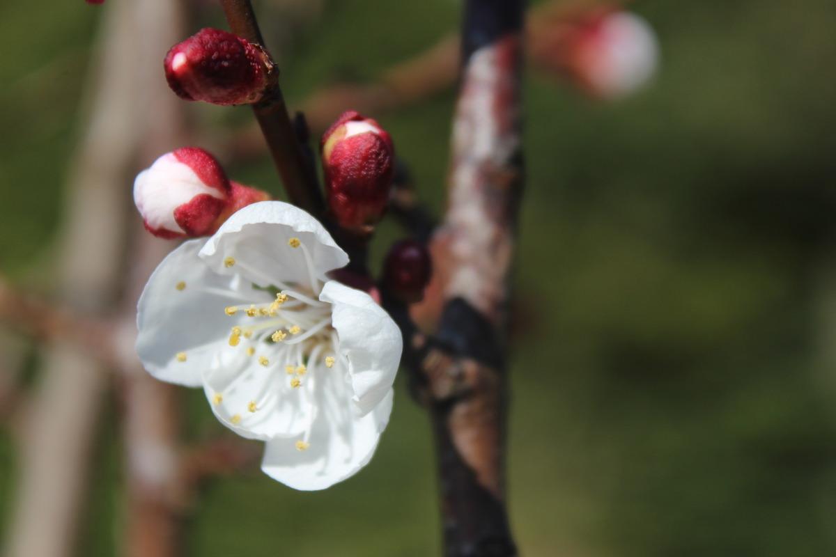 aprikose goldrich prunus armeniaca frisch aus der baumschule kaufen. Black Bedroom Furniture Sets. Home Design Ideas