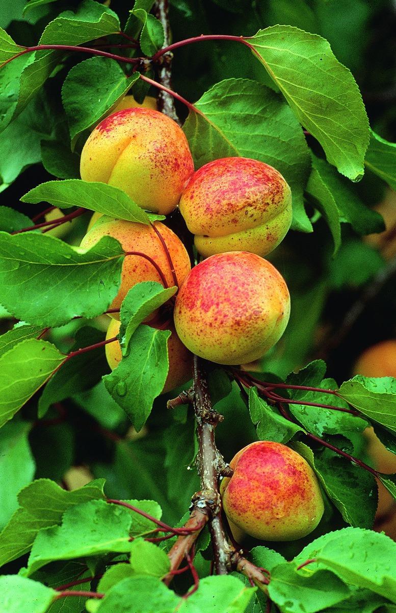 easytree aprikose luizet selbstfruchtbar im lubera online shop kaufen. Black Bedroom Furniture Sets. Home Design Ideas