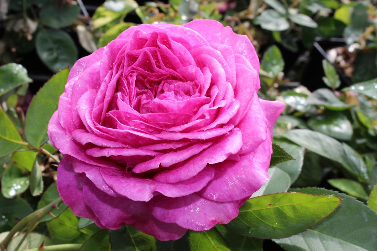 beetrose heidi-klum-rose : lubera.at