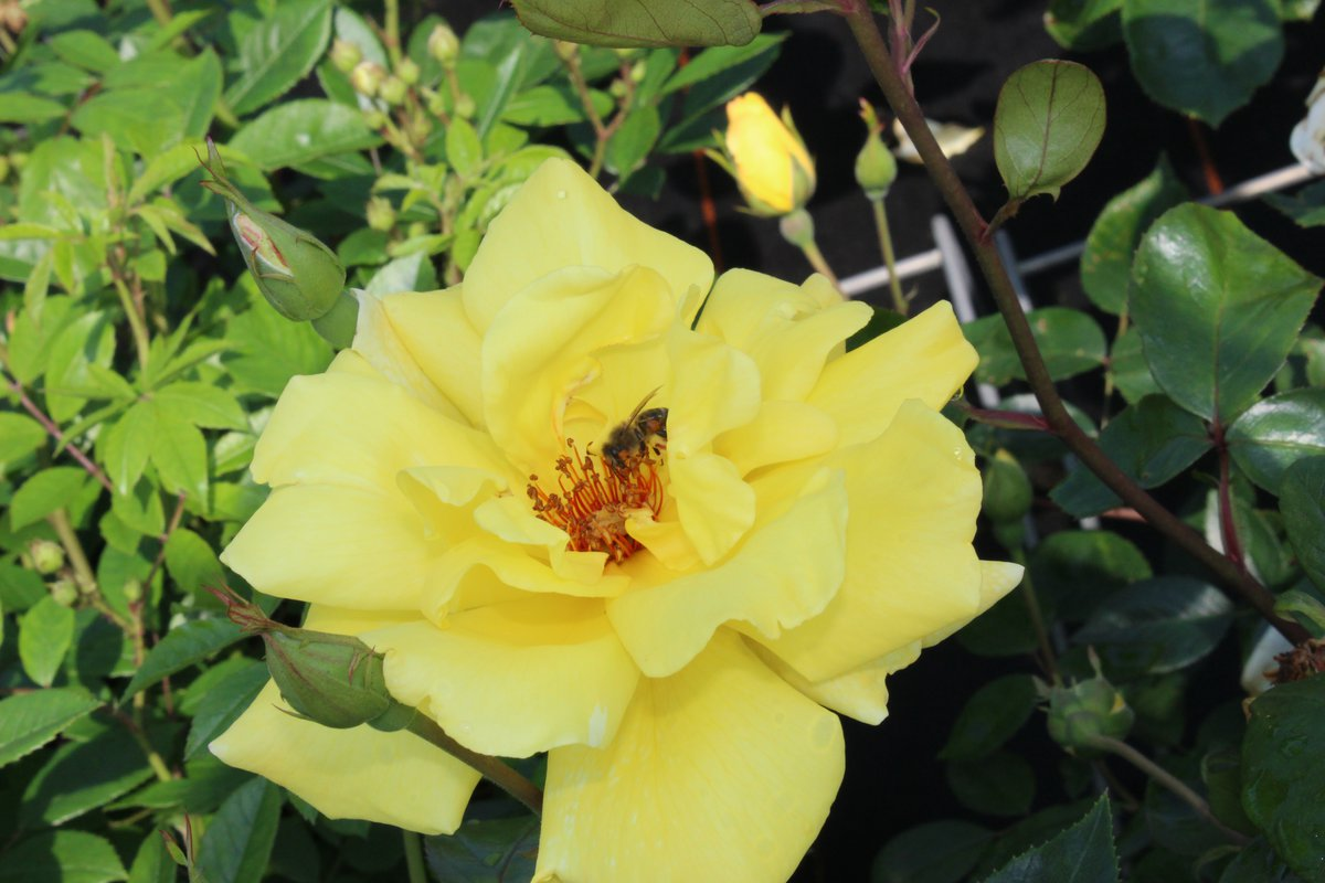 Rose Golden Showers  mit Bienen