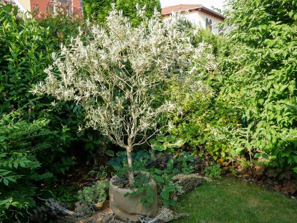 Olivenbaum verliert alle Blätter