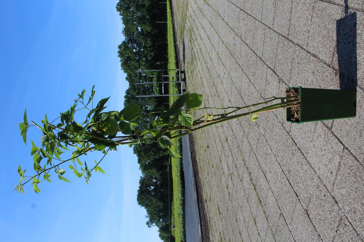 Dornenlose Brombeere Rubus fruticosus Navaho Arapaho Gärtnerei Qualität TOP