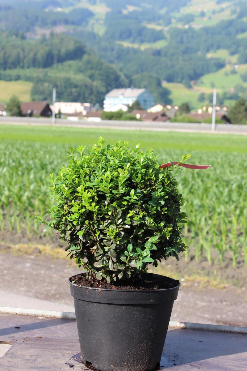 buchs buchsbaum 39 arborescens 39 zur kugel geschnitten 20 cm. Black Bedroom Furniture Sets. Home Design Ideas
