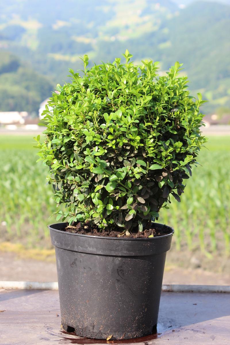 buchs, buchsbaum 'arborescens' zur kugel geschnitten (20 cm): lubera.de