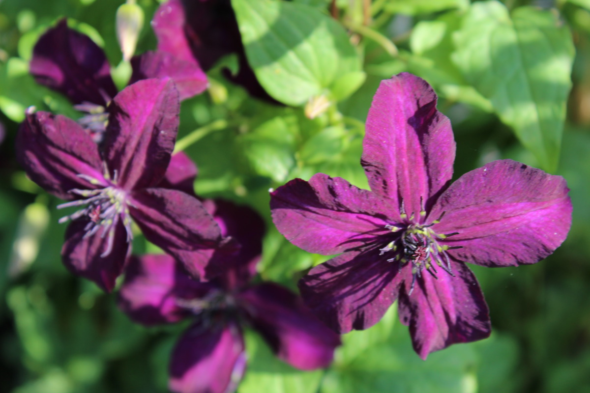 Clematis, Waldrebe 'Dark Eyes': Lubera.ch