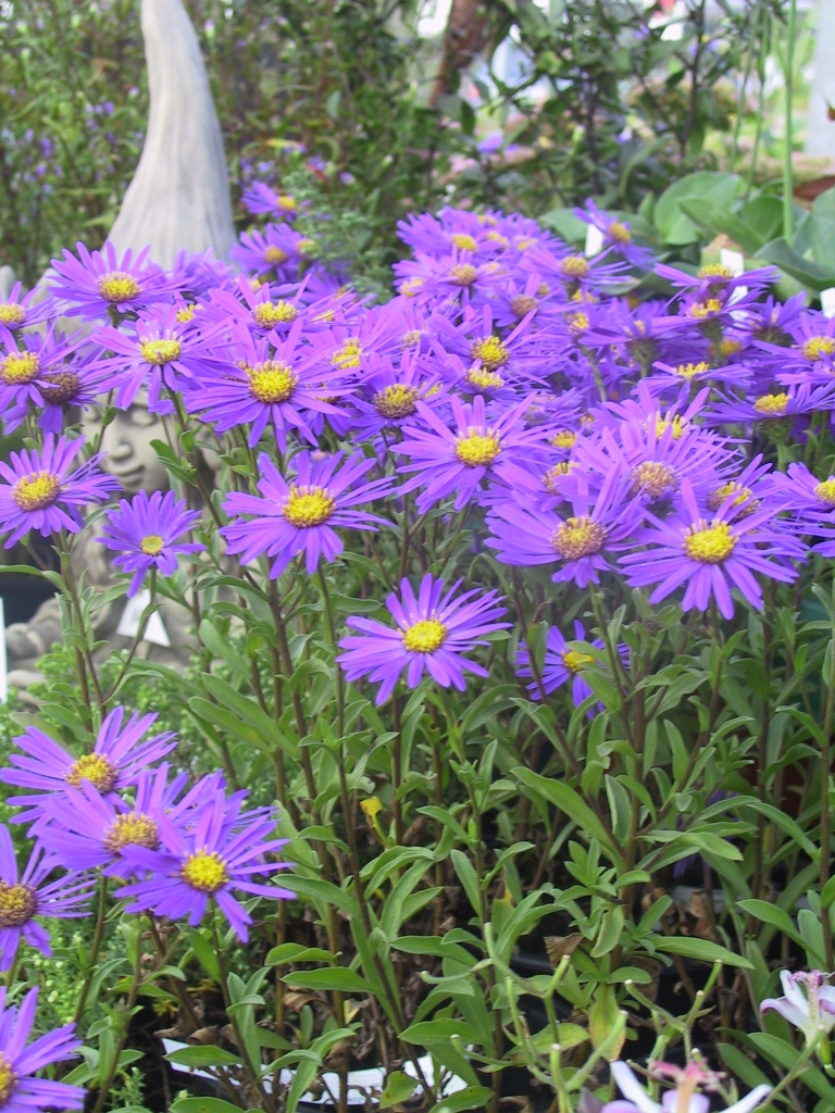 aster amellus blue king beet sommer aster lubera