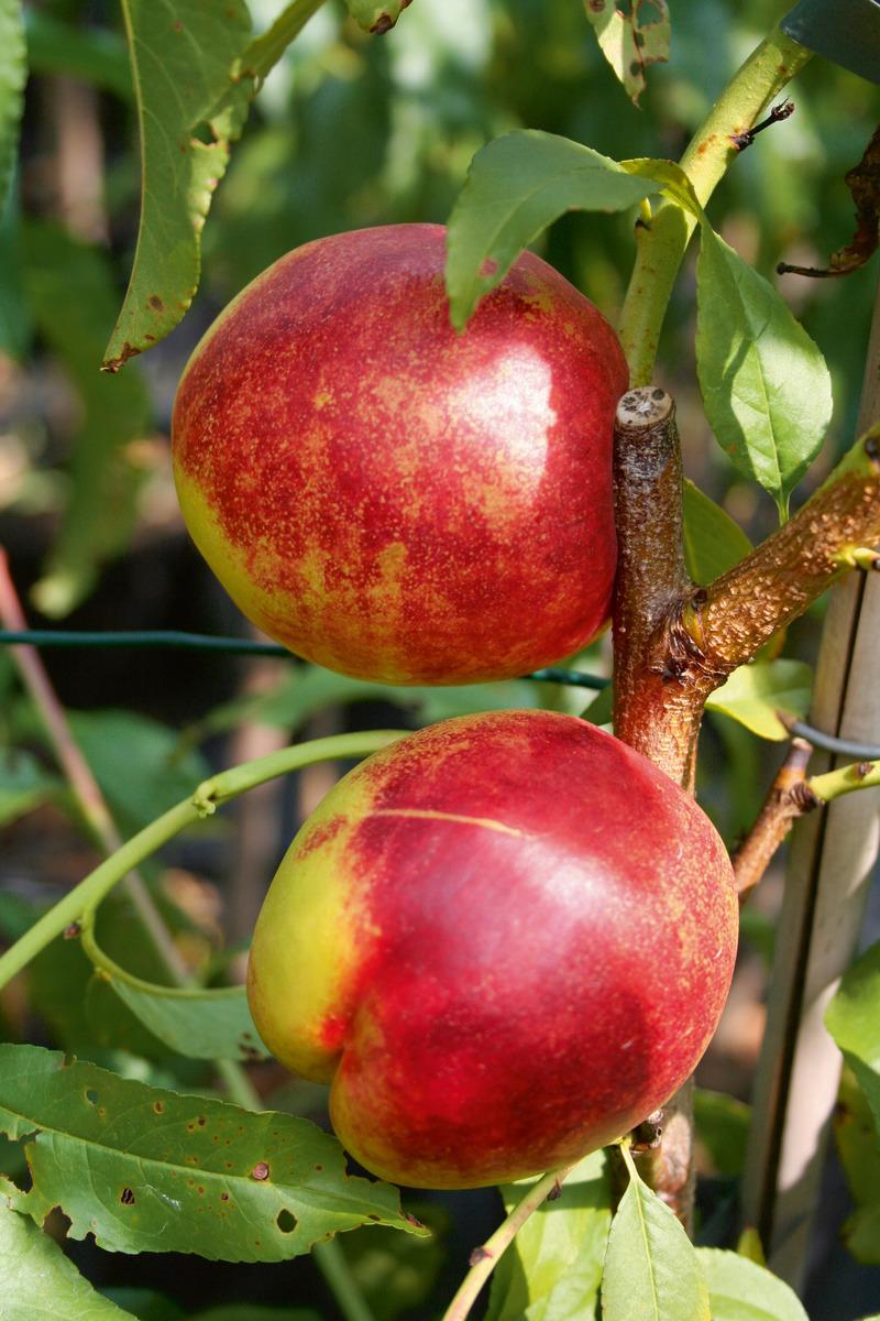 Nektarine Im Garten: Easytree: Nektarine Early Sungrand (gelbfleischig): Lubera.ch