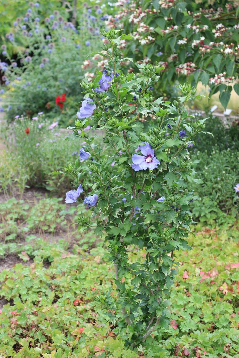Eibisch Strauch Eibisch Hibiskus Gartenhibiskus Oiseau Bleu