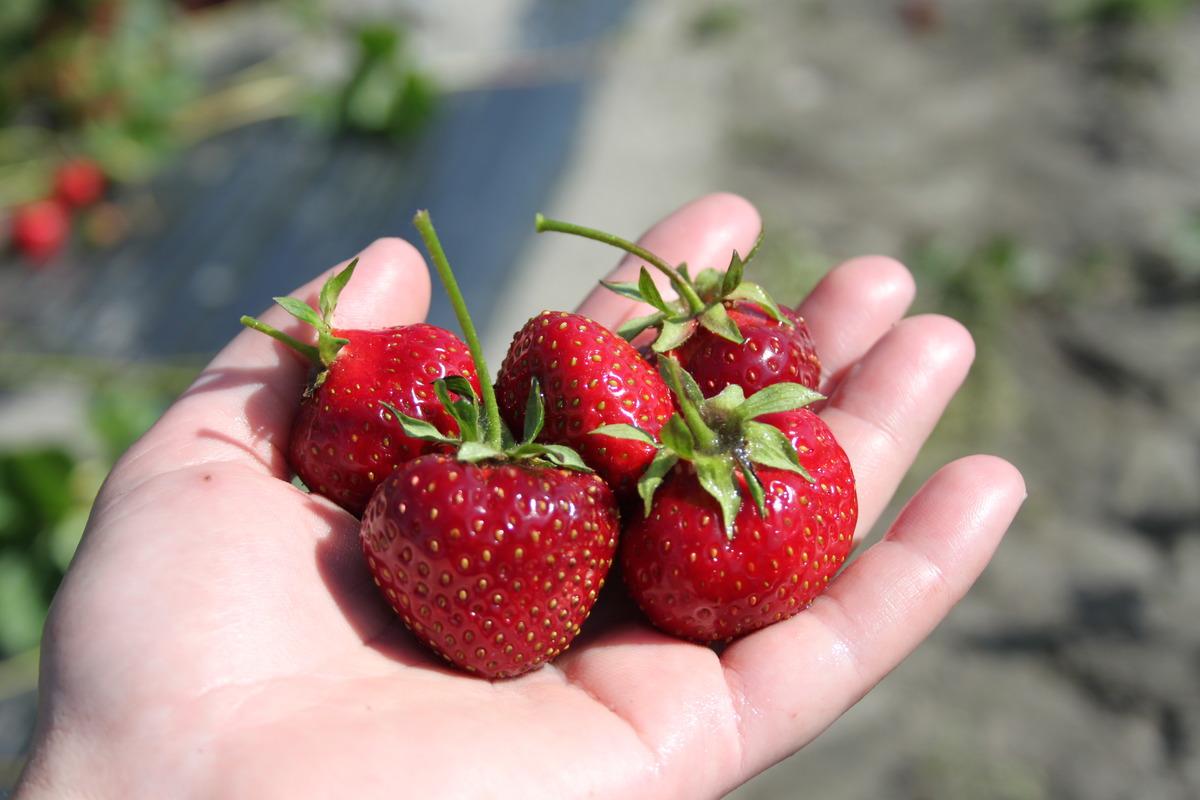 Außergewöhnlich Immertragende Erdbeeren im Lubera® Gartenshop @FK_17