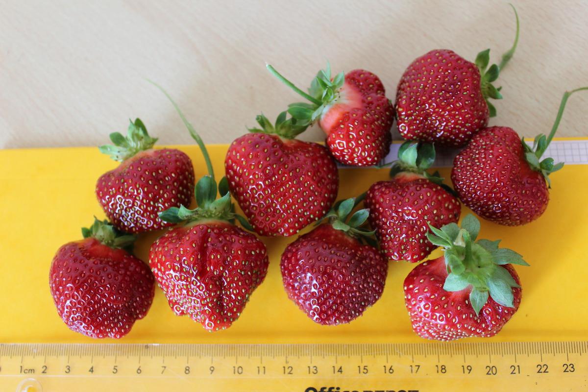 Außergewöhnlich Immertragende Erdbeeren im Lubera® Gartenshop #FU_06